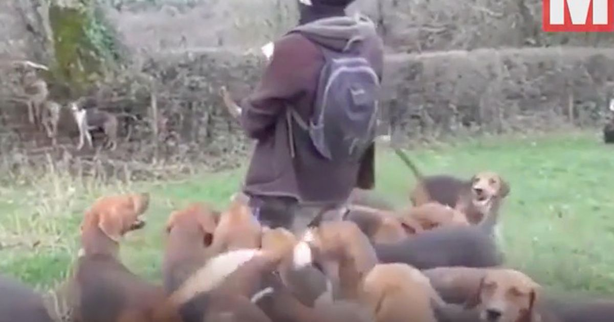 Sickeningly graphic video shows fox savagely killed by hounds on Boxing Day hunt