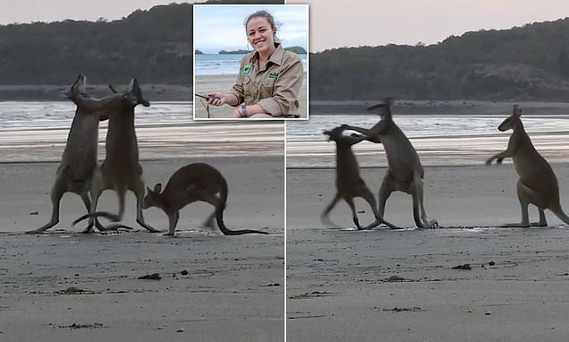 This brave little wallaby got more than he bargained for!