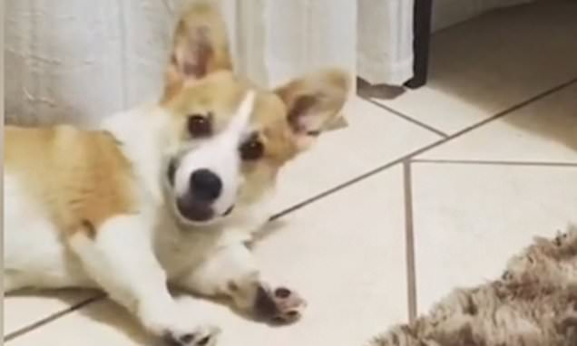 Sleeping corgi wakes up when its owner crumples a bag of snacks
