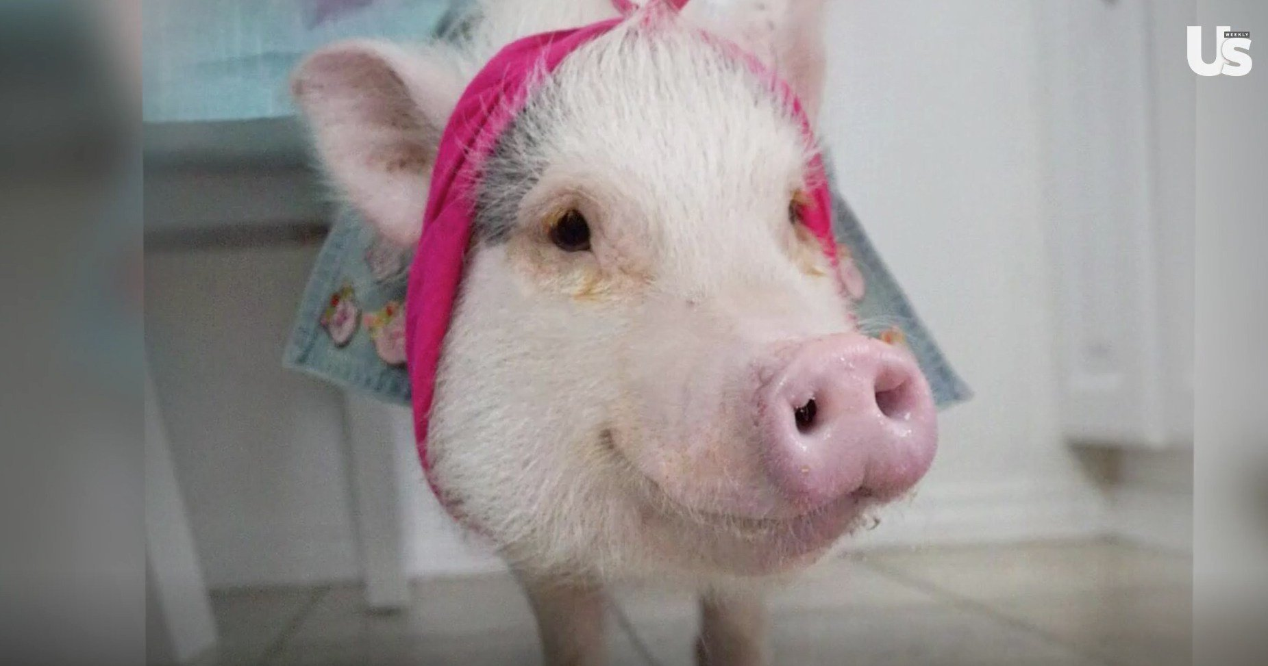 Meet Hamlet the Piggy, a Pint-Sized Lifesaving Therapy Pet