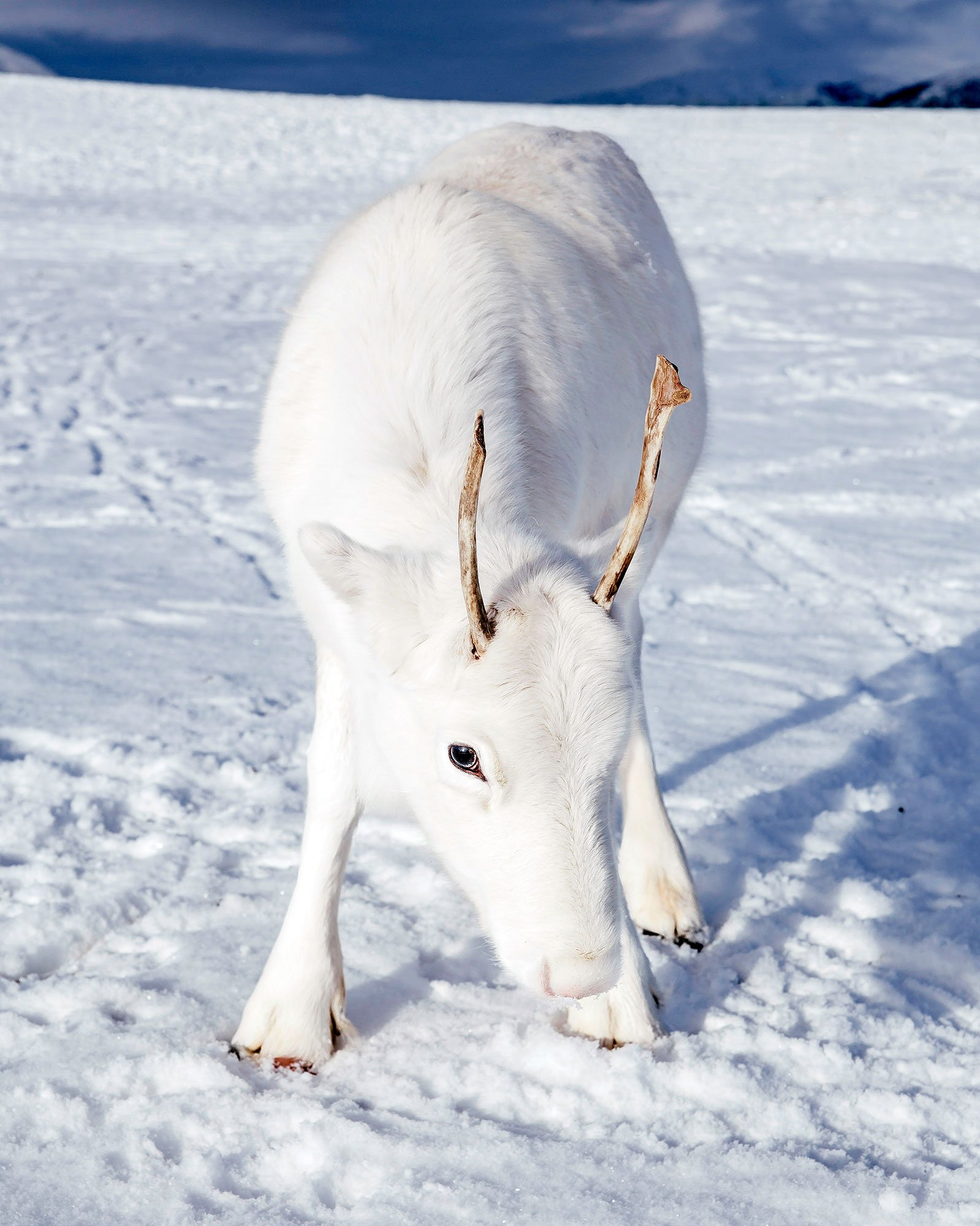 Rudolph, Who? Baby Snow-Colored Reindeer Is Almost Too Magical to Be Real