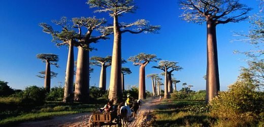 Africa's ancient baobab trees are being 'killed by climate change'