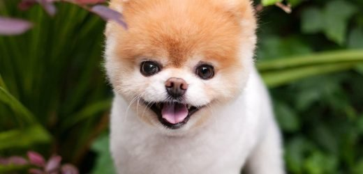 'World's cutest dog' Boo dies from a broken heart: owners
