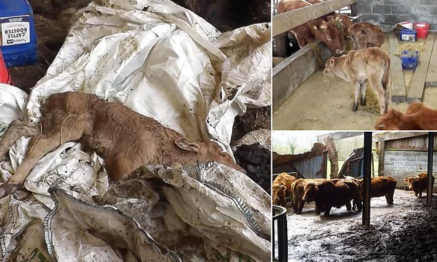 Video shows cattle carcasses left to decay alongside starving animals