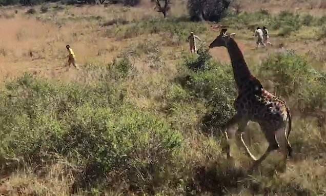 Footage captures conservation workers bringing down a sedated giraffe