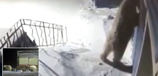 Polar bears try to break into buildings after invading Russian town