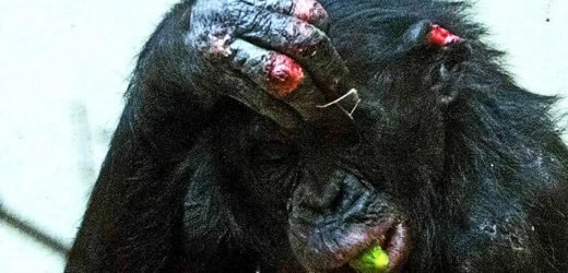 Massive campaign to save British chimp from German zoo FAILS despite thousands pleading for 'Bili' to be rescued from ape 'bullies'