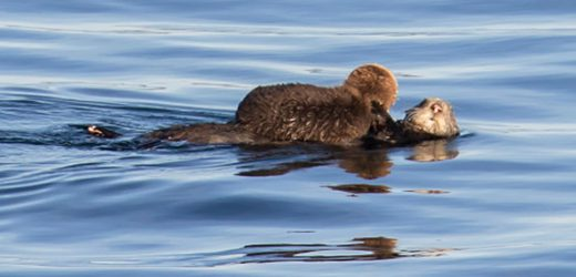 Rescuers Reunite Lost Baby Otter With Mom By Playing Pup's Cries for Otter Mom – See Video!