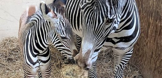 The Toronto Zoo Wants Your Help Naming Its New Zebra Foal