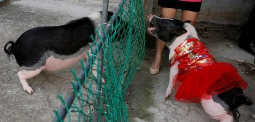 Pet peeve: Animal lovers fear for pet pigs in Lunar New Year