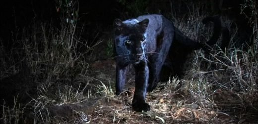 Rare black leopard captured in Kenya camera trap photos