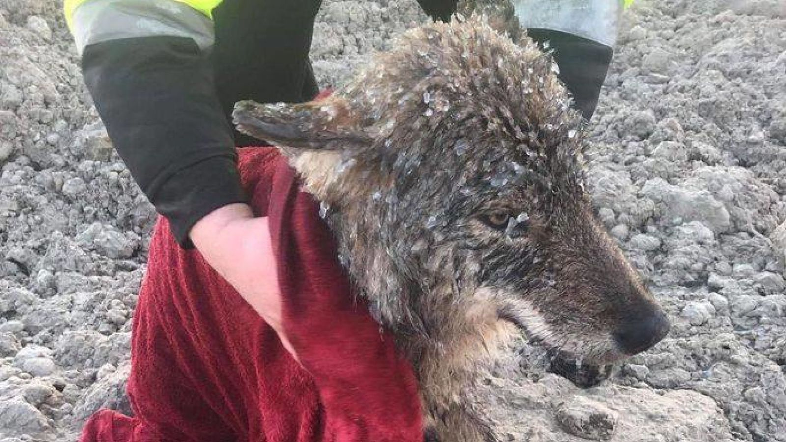 Wolf saved after rescuers in Estonia initially thought it was a dog