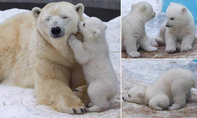 Russian polar bear cubs play in snow for first time in adorable clip