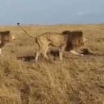 Lions launch brutal attack on older male in battle for territory