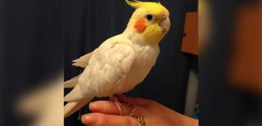 Heartbroken pet owner offering reward for return of stolen cockatiel