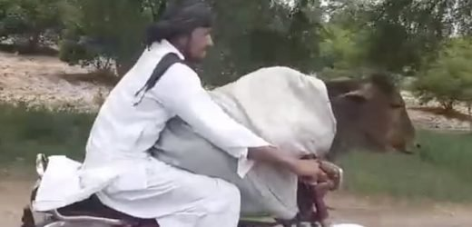 Biker spotted riding motorbike with COW sitting on his lap in Pakistan