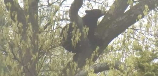 Black Bear Located in Backyard Tree After Being Chased Through Massachusetts Neighborhood