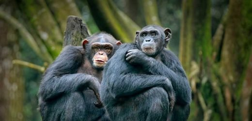 Bonobo monkey moms really want grandkids too: study
