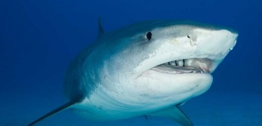 Shark with stomach and teeth removed found on beach