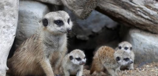 Four new baby meerkats melt hearts at a Thai zoo
