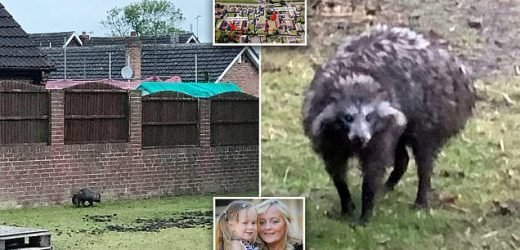 Raccoon dogs are captured after terrorising a Nottinghamshire town