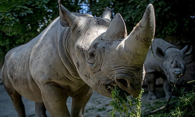 Male black rhino dies while being flown from UK