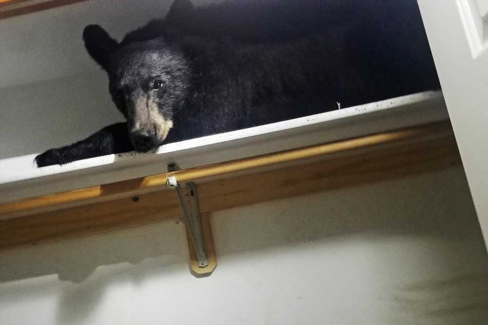 Black bear enters Montana home, finds shelf that's just right for a nap