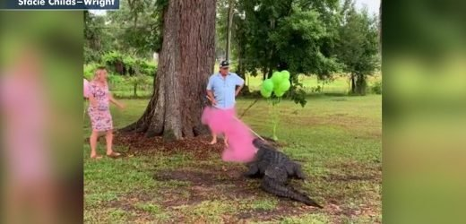 Florida couple uses huge pet alligator to reveal gender of 10th child