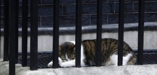 Downing Street 'chief mouser' Larry the Cat stages sit-in under President Trump's 'Beast' limo