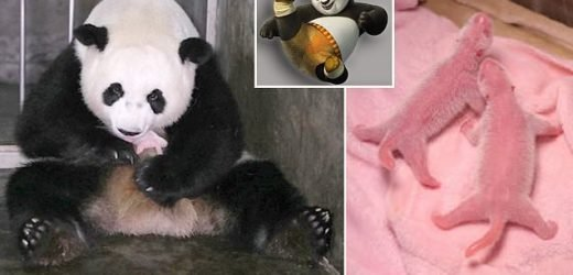 Giant panda named Po gives birth to 'world's heaviest twin cubs'