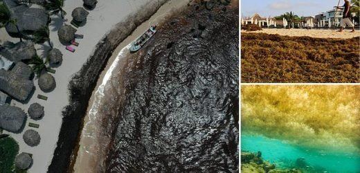 Toxic algae that 'smells like rotten egg' is invading Mexico's beaches