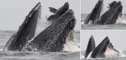 Hard to swallow! Moment sea lion escapes death as whale scoops him up