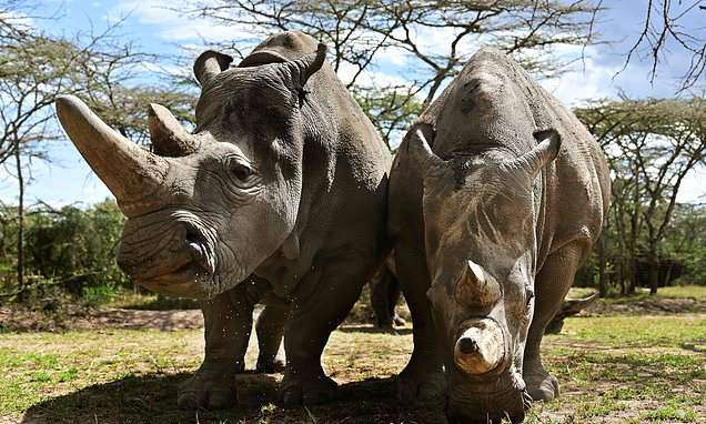 Northern white rhinos could be SAVED after vets harvest eggs