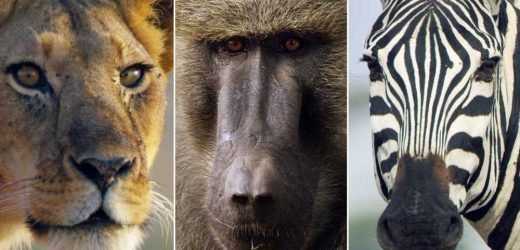 Why the breakout stars of 'Serengeti' have such animal magnetism