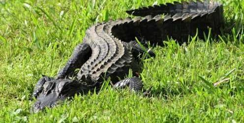 Woman injured in alligator attack while walking dog near pond