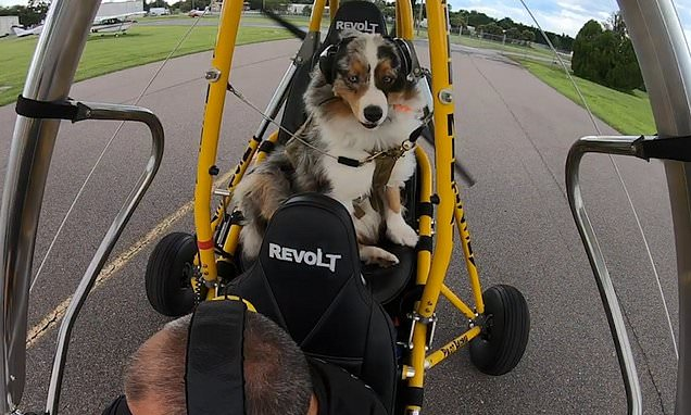Daredevil Australian Shepherd dog takes flight in powered hang glider