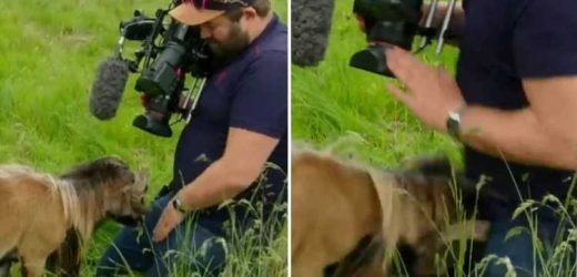Hilarious moment BBC cameraman is butted in the groin by angry sheep