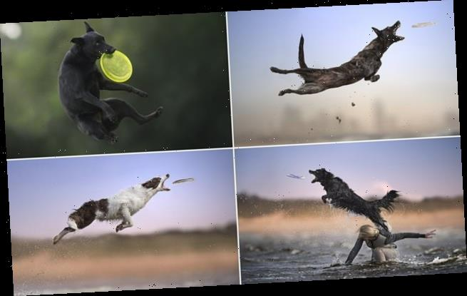Incredible action shots show dogs leaping to grab frisbees