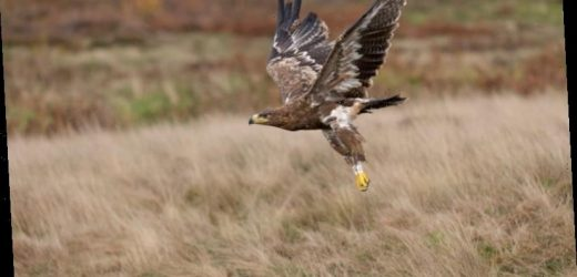 Steppe eagle spends $160 a day texting home