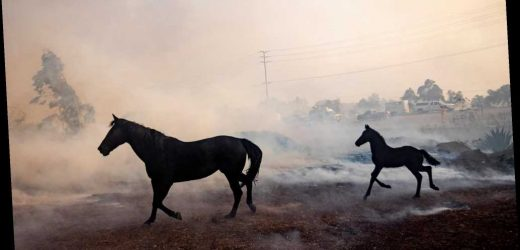 Hero horse runs back to save its 'family' during California fires: video