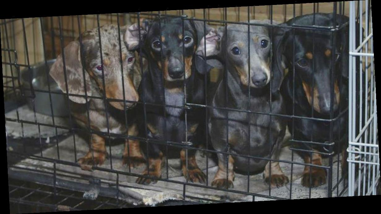 101 sausage dogs seized from homes in major crackdown on illegal breeders