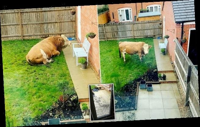 Couple wake up to find a huge bull named Arnold in their back garden