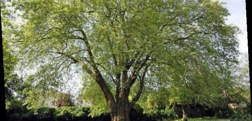 The £1.6million tree is the most valuable specimen in the UK