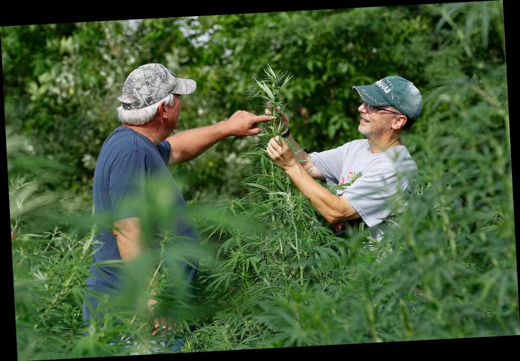 Legal hemp, CBD stir more US farmers to grow unfamiliar crop