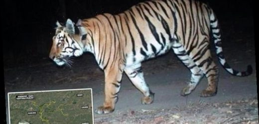 Tiger embarks on 'longest walk ever' in India, travelling 807 miles