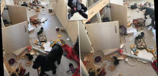 How Dory the Cocker Spaniel destroyed a family's kitchen