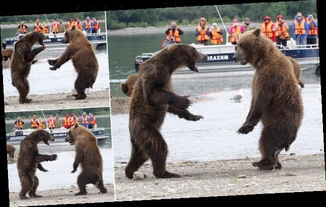 Fight cub: Brown bears stand on their hind legs in blazing duel