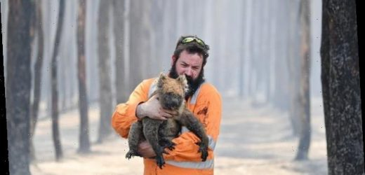 Koalas could be classified as ENDANGERED after the bushfires