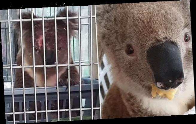 Grumpy koala glares at another marsupial as he waits for his breakfast