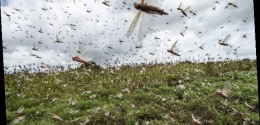 The worst locust invasion in 70 years is set to ravage east Africa